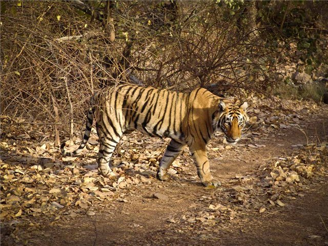 Click to view full size image  ==============  Tiger in Ranthomber, Rajasthan